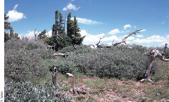 Chapter 8, Problem 16FQ, FIGURE 8.16 Here in the Colorado Rocky Mountains, the last tree species found at the altitudinal