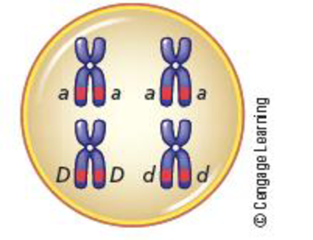 Chapter 3, Problem 24QP, Meiosis Explains Mendels Results: Genes Are on Chromosomes The following diagram shows a