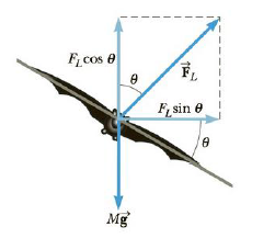 Chapter 7, Problem 72AP, The maximum lift force on a bat is proportional to the square of its flying speed v. For the hoary