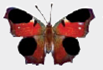 Chapter 1, Problem 1DAA, Peacock Butterfly Predator Defenses The photographs below represent the experimental and control , example  1