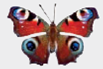 Chapter 1, Problem 1DAA, Peacock Butterfly Predator Defenses The photographs below represent the experimental and control , example  2