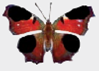 Chapter 1, Problem 1DAA, Peacock Butterfly Predator Defenses The photographs below represent the experimental and control , example  3