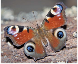 Chapter 1, Problem 1DAA, Peacock Butterfly Predator Defenses The photographs below represent the experimental and control , example  8