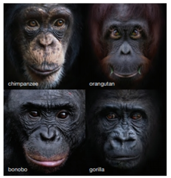 Chapter 18, Problem 3CT, Bonobas and chimpanzees are sister groups. Humans, bonobos, and chimpanzees share a more recent