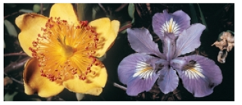 Chapter 27, Problem 1CT, Is the plant with the yellow flower above a eudicot or a monocot? What about the plant with the