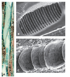 Chapter 28, Problem 5CT, What are the structures shown in the micrographs in FIGURE 28.13? In which plant tissue(s) can these