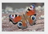 Chapter 43, Problem 1DAA, Alarming Eyespots Section 1.6 described how a peacock butterfly will, when threatened, open its , example  2