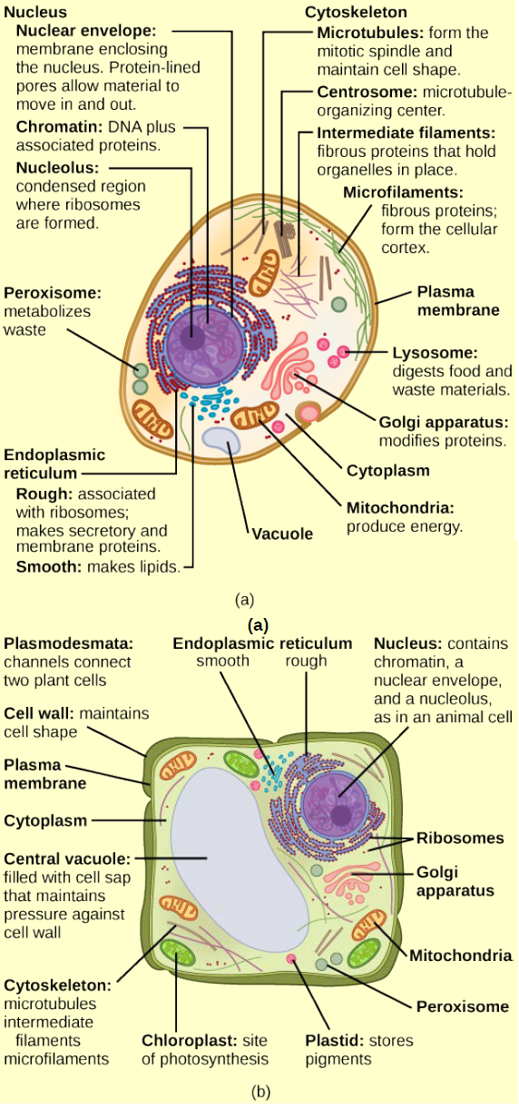 Figure 3.7 What structures does a plant cell have that an ...